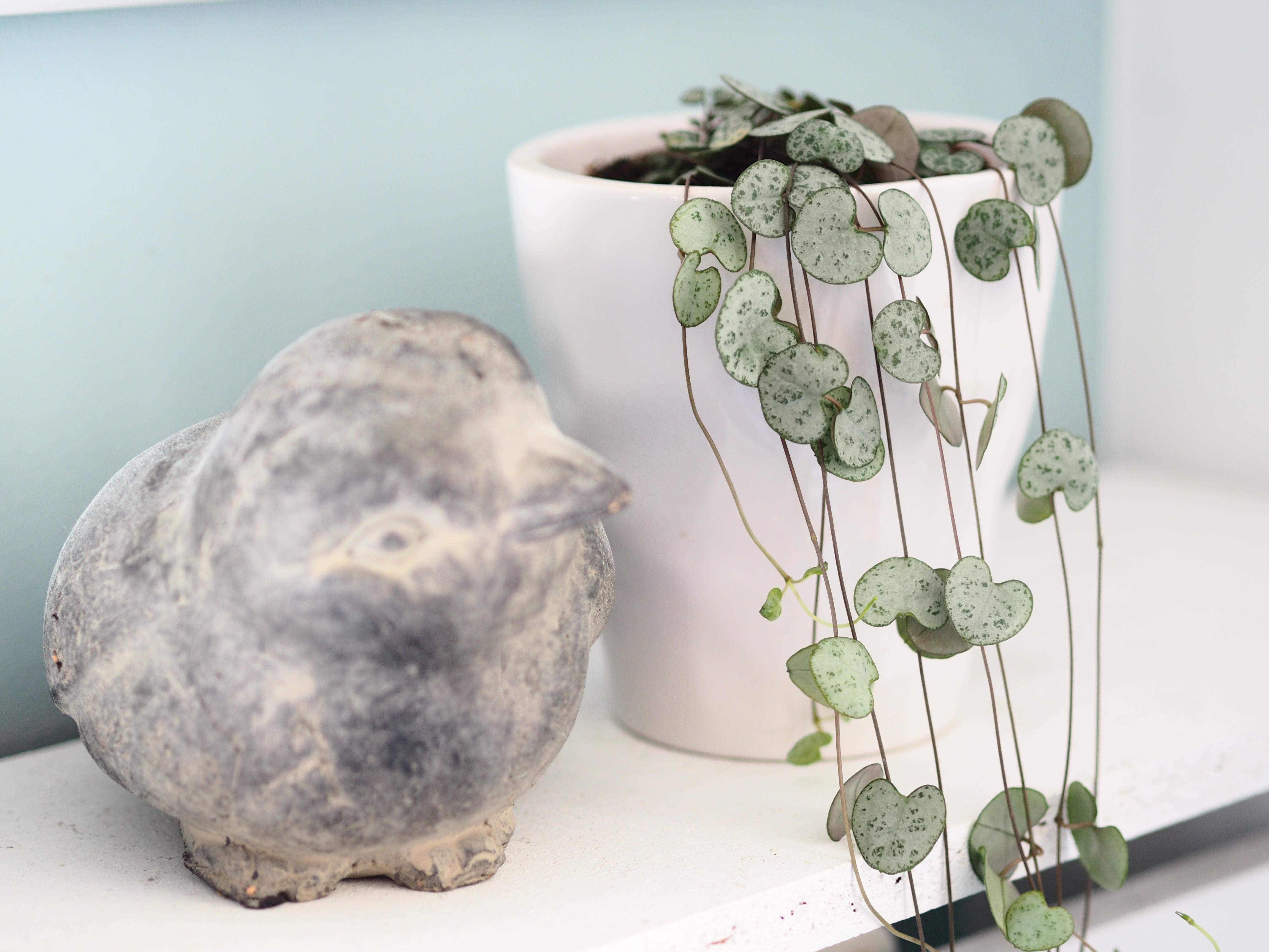 plante feuilles coeur